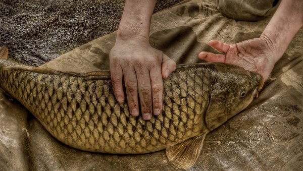 common carp: Common carp caught at Frant lakes, Kent, England, the hands belong to George Alexander. this fish was released unharmed straight after this picture was taken.