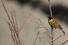 Black-headed Bunting: The Black-headed Bunting, Emberiza melanocephala, is a passerine  bird in the bunting family Emberizidae, a group now separated by most modern authors from the finches, Fringillidae.