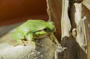 Green Frog: no description
