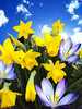 Daffodils: Vibrant yellow colours of miniature daffodils