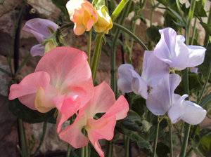Sweet Peas: Delicate summer colours!