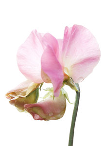 Pink Sweetpea: Capturing the delicate colours of sweetpeas