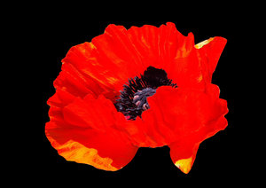 Red Poppies: Red poppy