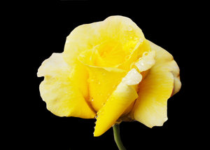 Raindrops on Roses: Yellow Roses bejewelled with Raindrops on a black background