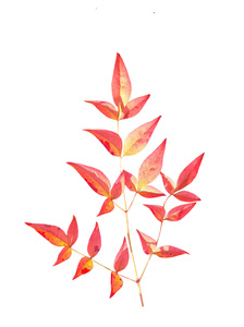 Capturing Autumn Colours: Red  autumn leaves