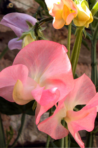 Delicate pink sweet peas: Many shades of pink