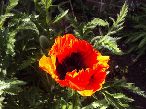 Poppies: Poppies emerging in the sunshine
