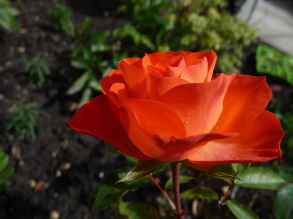 Scarlet Rose: Rich colours of a rose in my garden