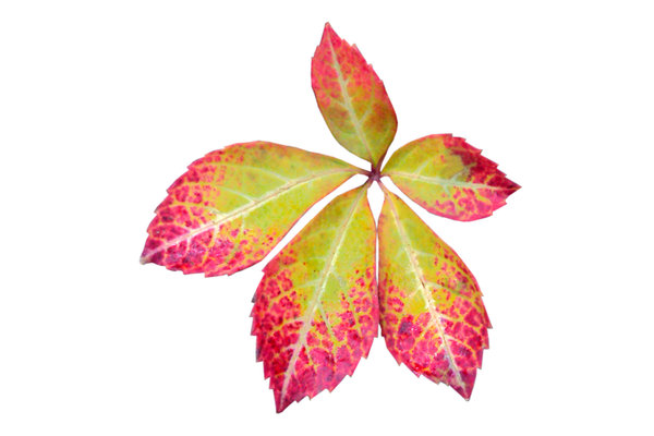 Autumn leaves: Pale green leaf with red trim