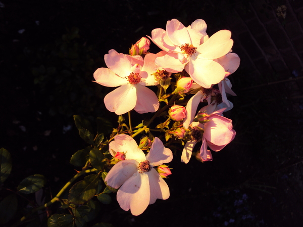 Roses at Sunset: The rapidly setting sun lit up a small corner of the garden