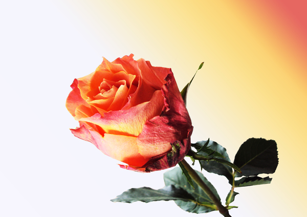 Red Gold Rose: Vibrant red-gold textured rose