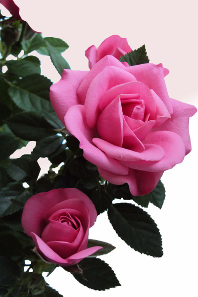 Delicate pink roses: The beauty of a miniature rose