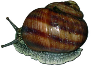 snail: small animal