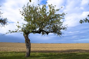 Apple tree 2: Apple tree