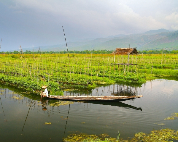 Floating gardens: This is floating gardends of Inlay lake. Farmers work in the boats growing vegetables on floating ground beds (you see them)