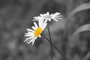 Daisy Daisy Selective Colour: 2 gorgeous magurite daisies one in colour the other in Black and White
