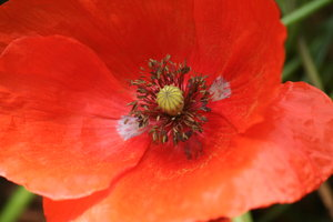 Poppy: the lovely red poppy and the seeds