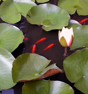 GOLDFISH AND LILIES: SMALL GOLD FISH AMONG THE LILIES IN ONE OF MY GROWING  TANKS