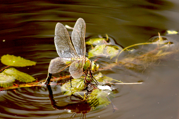 Dragonfly: Dragonfly laying eggs in the Basingstoke Canal, UK