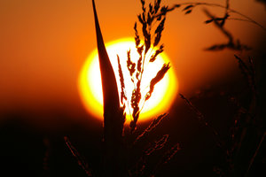Setting Sun: Sunset with wheat in front of it