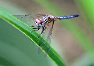 A Great Dragonfly: Dragonfly in the spring