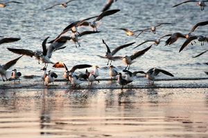 Morning Gulls: Gulls landing on the Texas Gulf Coast