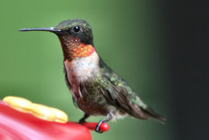 Male Hummingbird: Hummingbird at my feeder