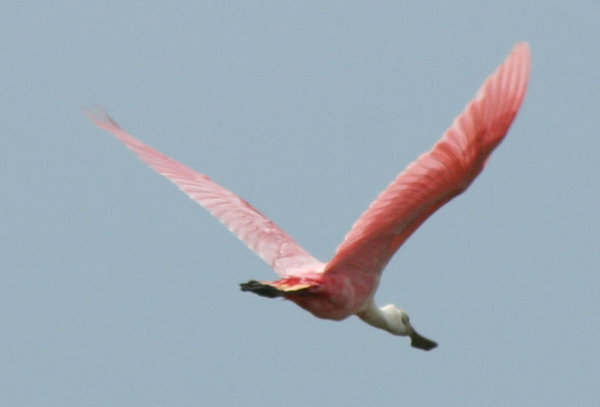 Pink Rosette Spoonbill: An endangered bird that lives on the Texas Gulf Coast