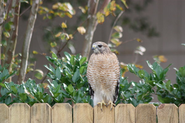 Red Tailed Hawk: A rare opportunity when a hawk sat on my fence.  They are skittish and this one waited for me to fish out my camera and get 4 shots before he flew off.  He was about 24 inches in height.  A big bird with a great wingspan.  He came for Thanksgiving.Red Tai