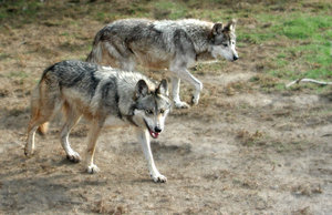 Mexican wolves: A shot of mexican wolves...   They are almost extinct.