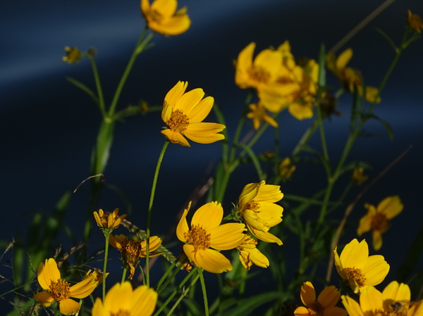 Wild flowers: I love these autumn flowers that grow at the side of the lake