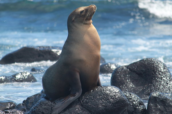 Sealion: Playing with waves and enjoying the sun.