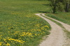 dandelion path: dandelion path in spring