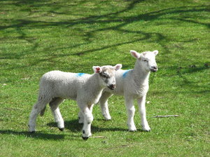 Baby Lambs: Lambs with a spring in their step