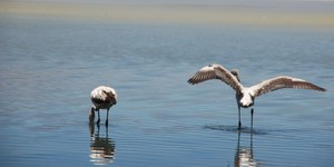 Flamingo series 3: Flamingos from the Bolivian Andes