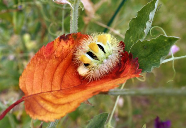 caterpillar: caterpillar at autumn leaves - Calliteara pudibunda