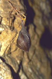 Greater horseshoe bat: Bat in the cave