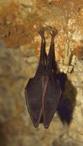 Greater horseshoe bat: no description