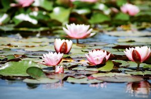 Water lily: Flowers