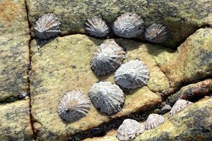 Limpets: Limpets