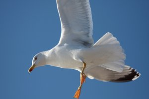 Flying seagull 1: Flying seagulls in Galicia, Spain, EU