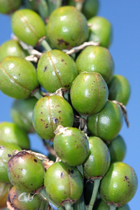 Green berries 2: Green berries