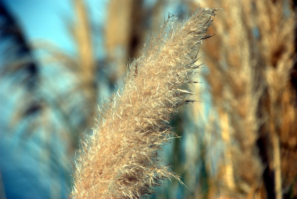 Feather like plant 2: Feather like plant (Pampas grass)