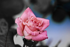 Pink and Blue: A little fun with a Rose