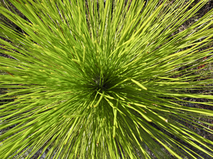 Pine Leaves: Perspective view of Long Leaf Pine