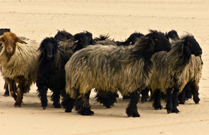 Desert Sheep: Long haired sheep.