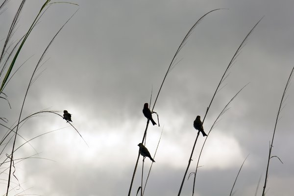 Friends in a storm: Birds balanced on grass stalks with impending storm near. Taken near Mexico Beach, Fl.