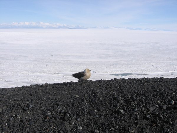 Antarctica: Resupply mission to McMurdo Station Antarctica 2006, found this Skua on our hike, were only 4 feet from it! No Fear!