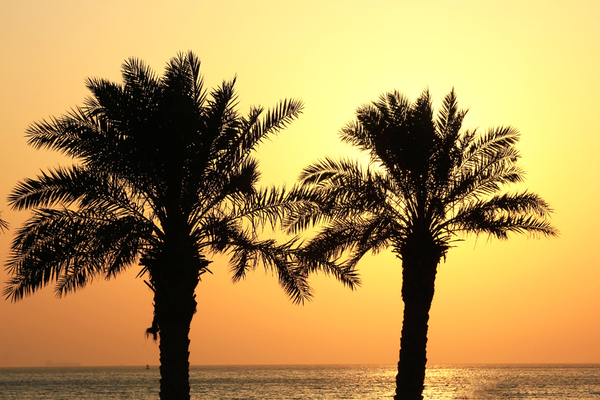 Gulf of the MidEast Sunrise: Sunrise at the coast, seen through the palms.