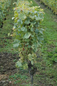 Vineyard 4: Swiss vineyard - chasselas grape wine